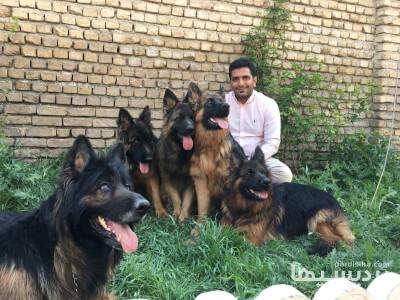 فروش دائمي توله سگ ژرمن شپرد شولاين ژرمن بلك اصيل در گروه  لوازم حیوانات خانگی
