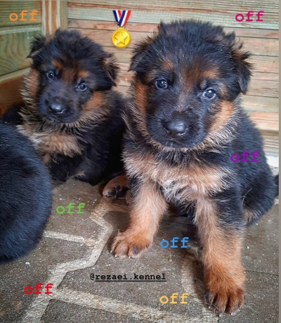 فروش توله سگ ژرمن شپرد اصيل مو بلند و مو كلاسيك در گروه  لوازم حیوانات خانگی