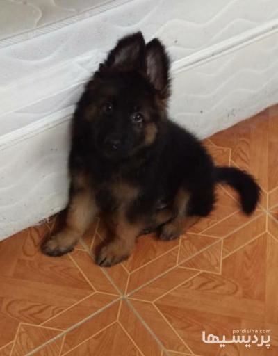 فروش توله سگ ژرمن شپرد اصیل و شجره دار در گروه  لوازم حیوانات خانگی