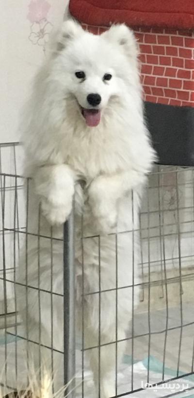 سگ ساموييد دزديده شده در گروه  لوازم حیوانات خانگی